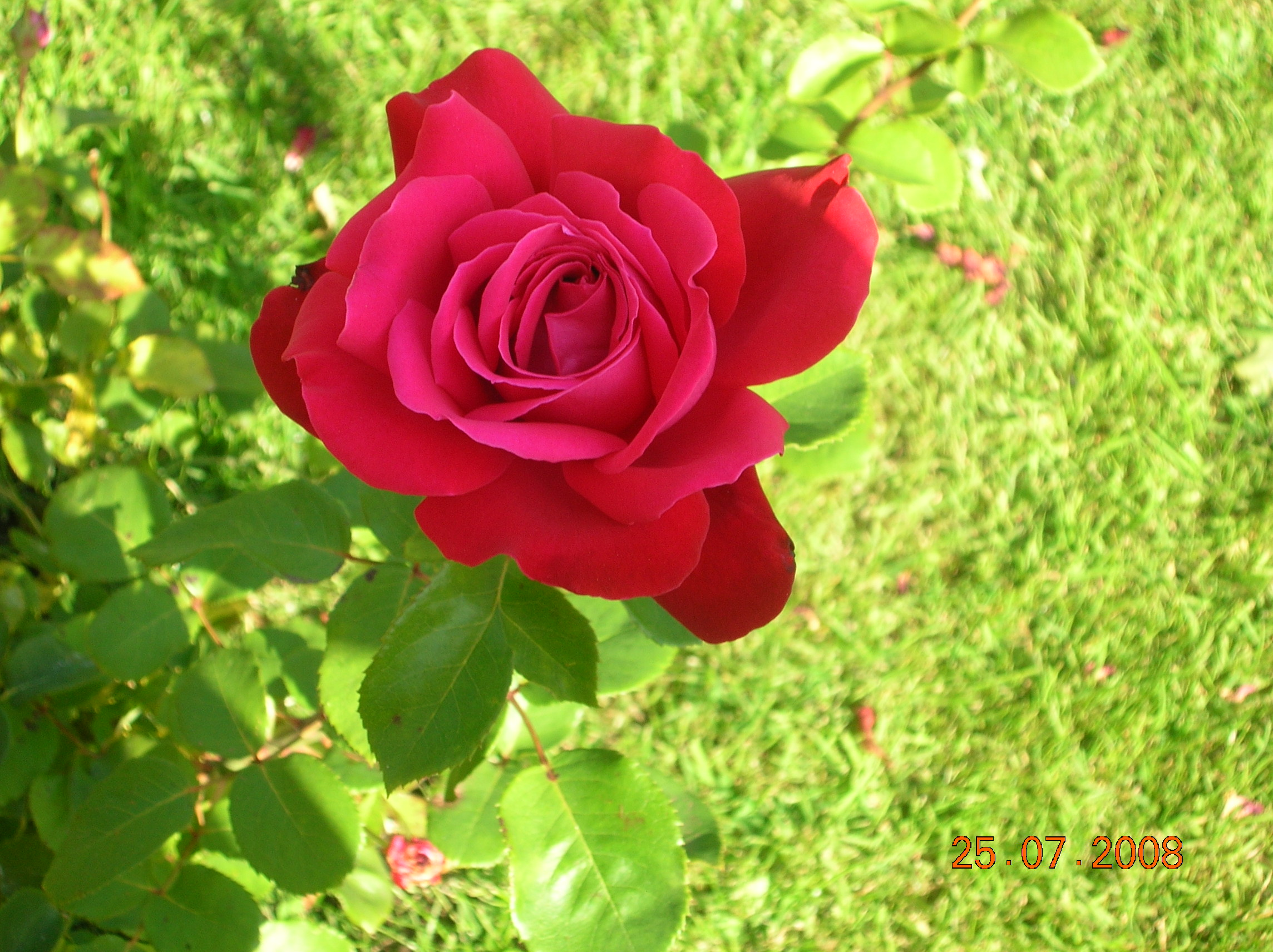 Fond d'écran image la rose de mon jardin, photo de lise