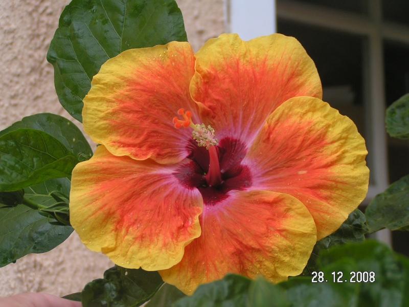 Hibiscus bicolore (photo prise par caroline )